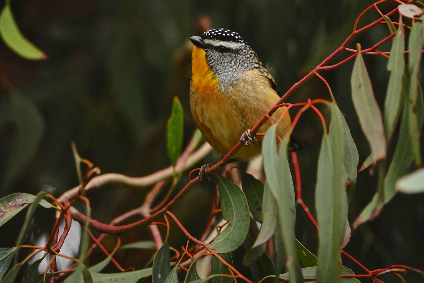 Spotted Pardalote (Image ID 36065)