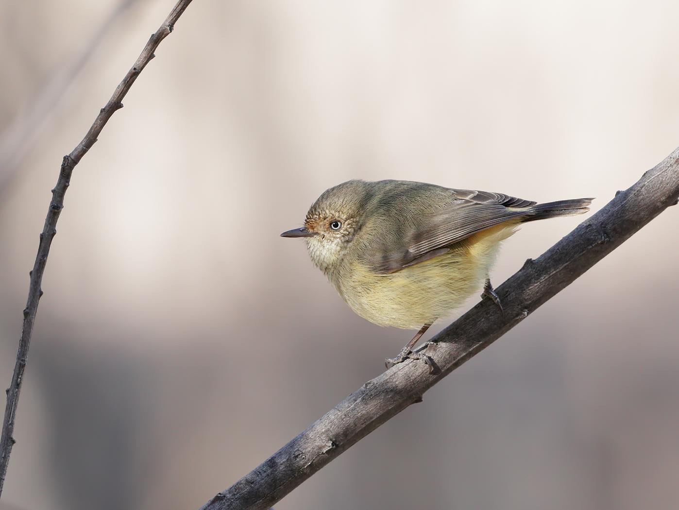 Buff-rumped Thornbill (Image ID 36040)