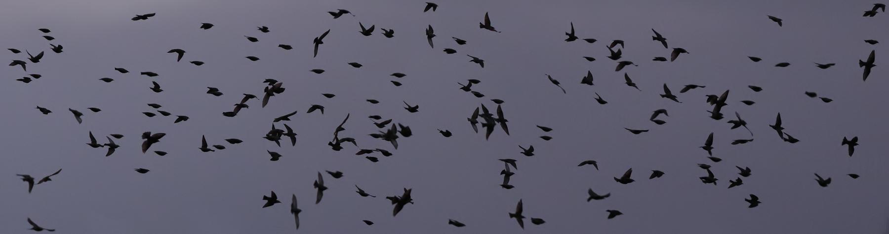 Common Starling (Image ID 36097)