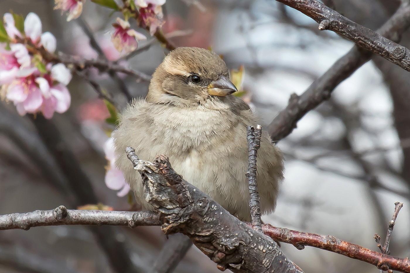 House Sparrow (Image ID 36027)