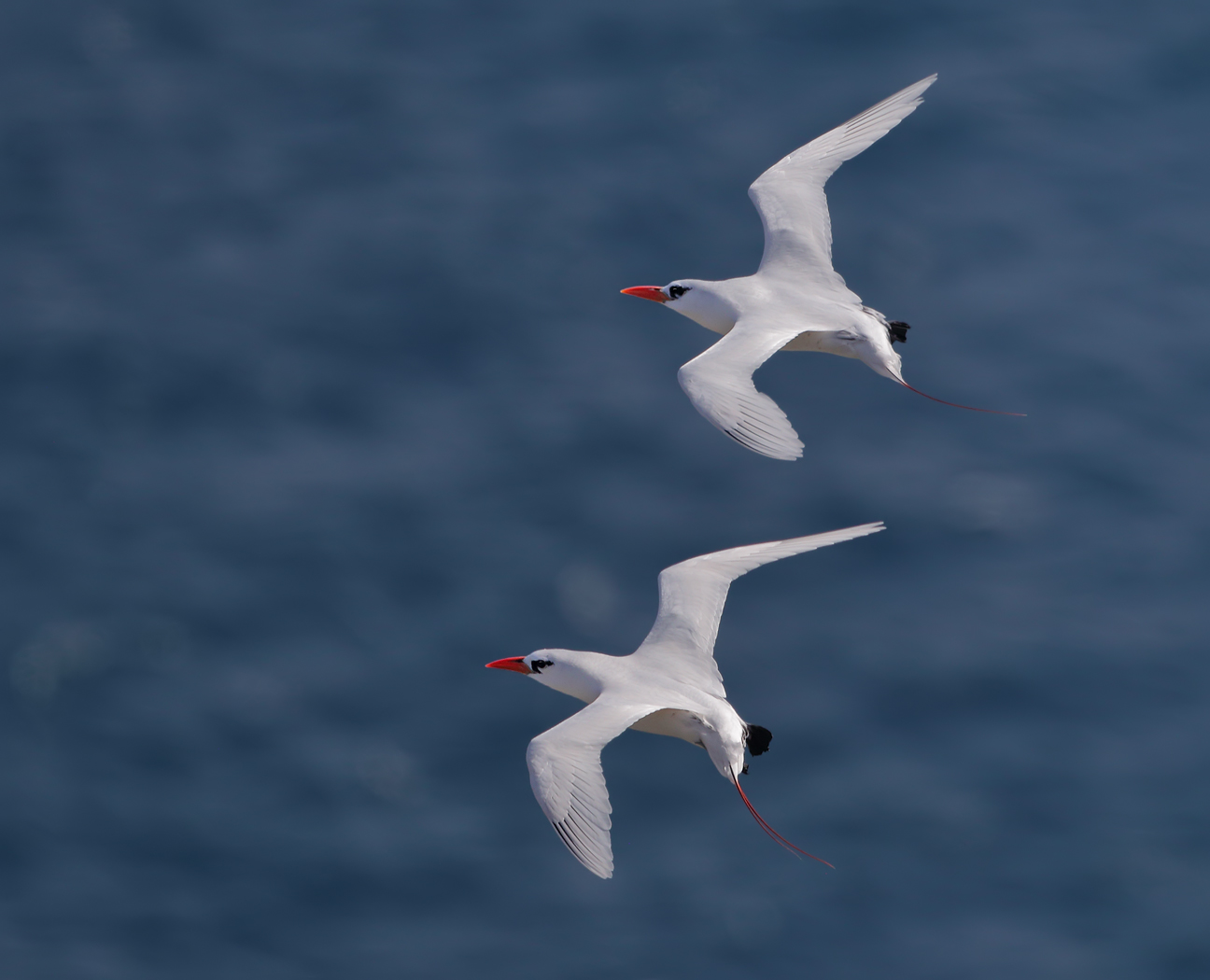 Red-tailed Tropicbird (Image ID 36090)