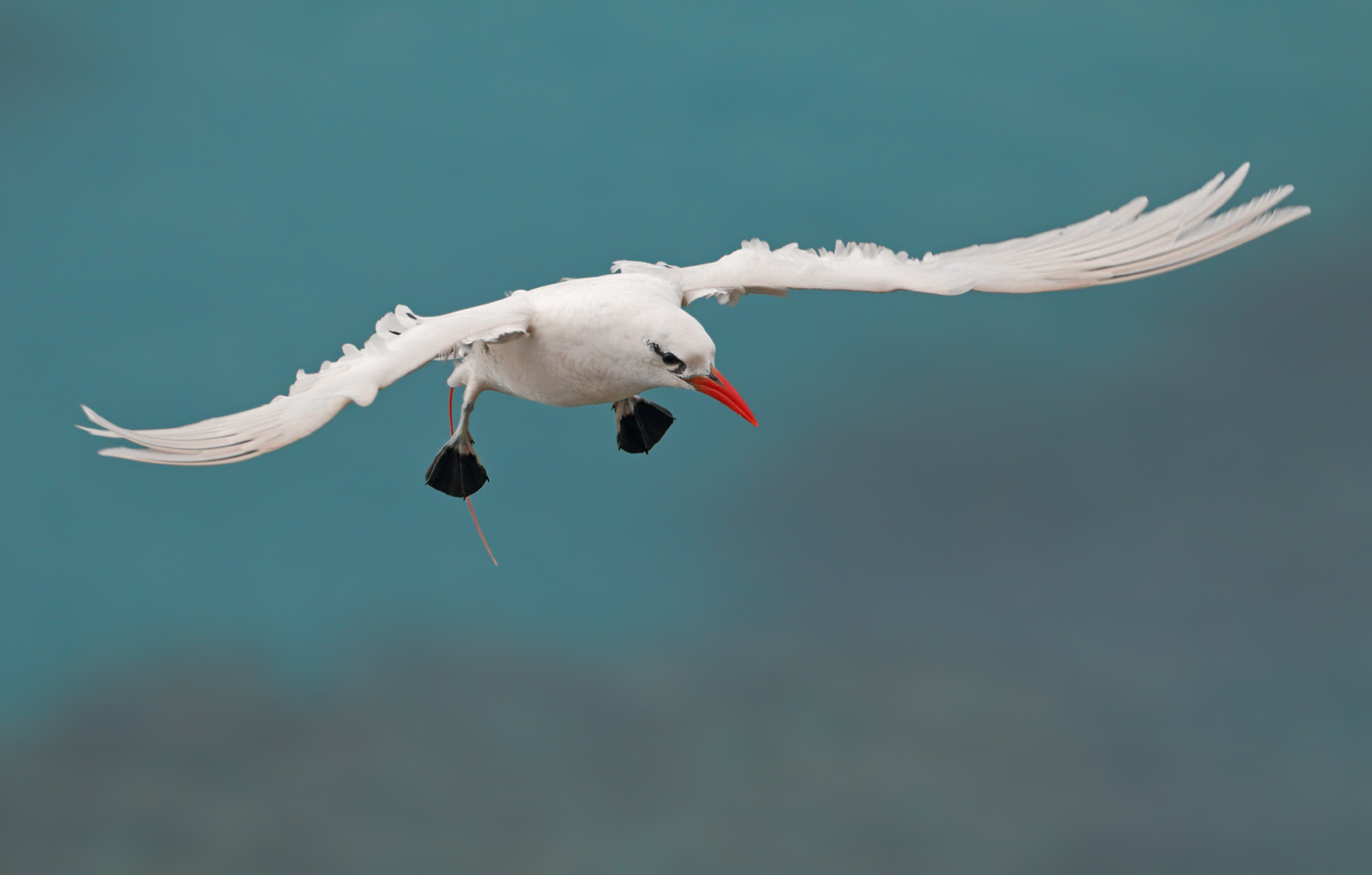 Red-tailed Tropicbird (Image ID 35976)