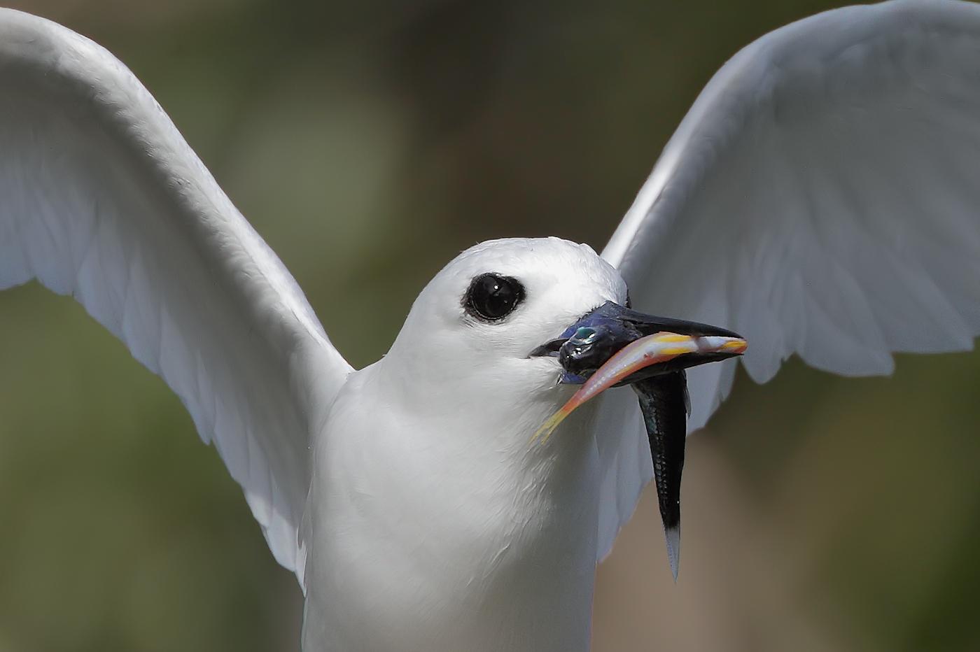 White Tern (Image ID 36013)