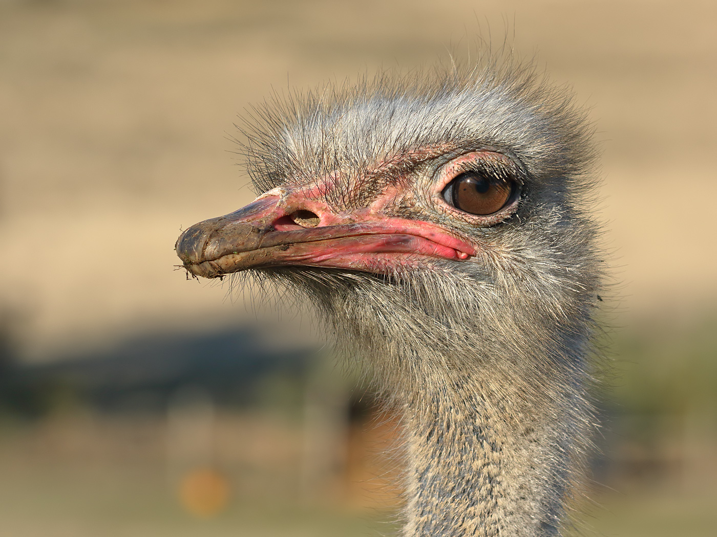 Ostrich (Image ID 36037)