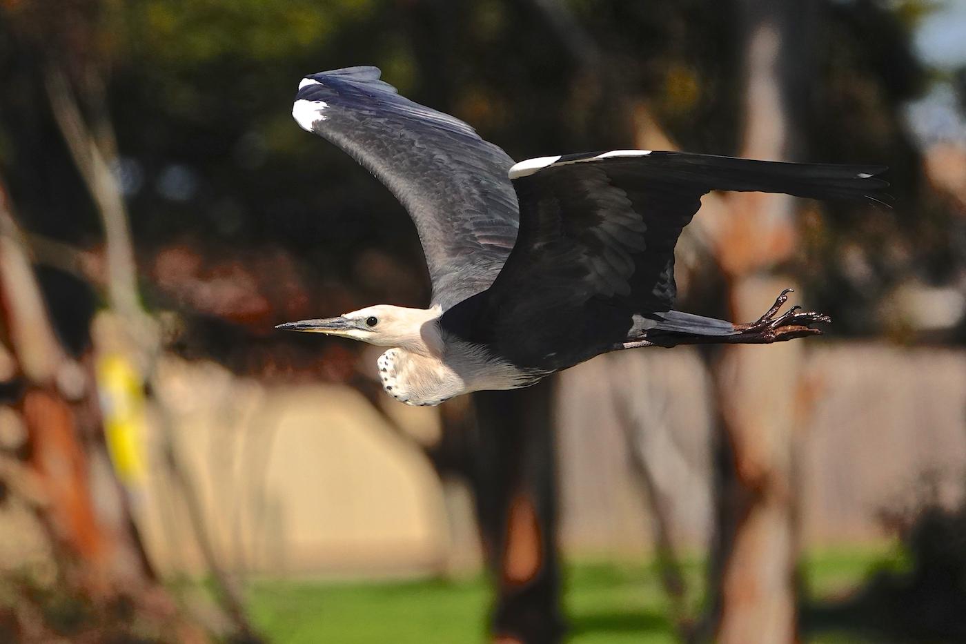 White-necked Heron (Image ID 36363)
