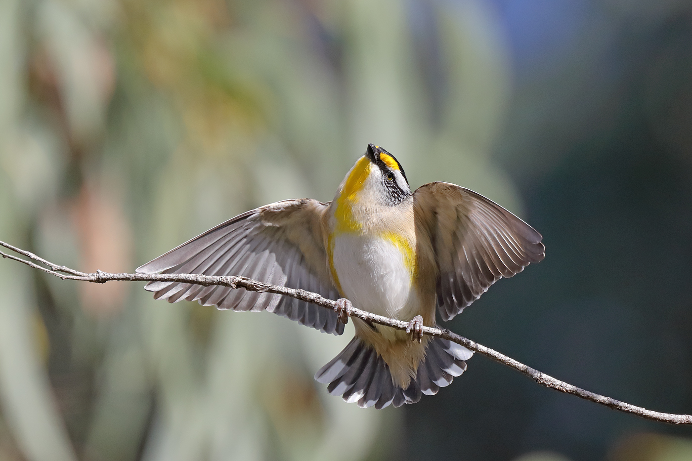 Striated Pardalote (Image ID 36394)