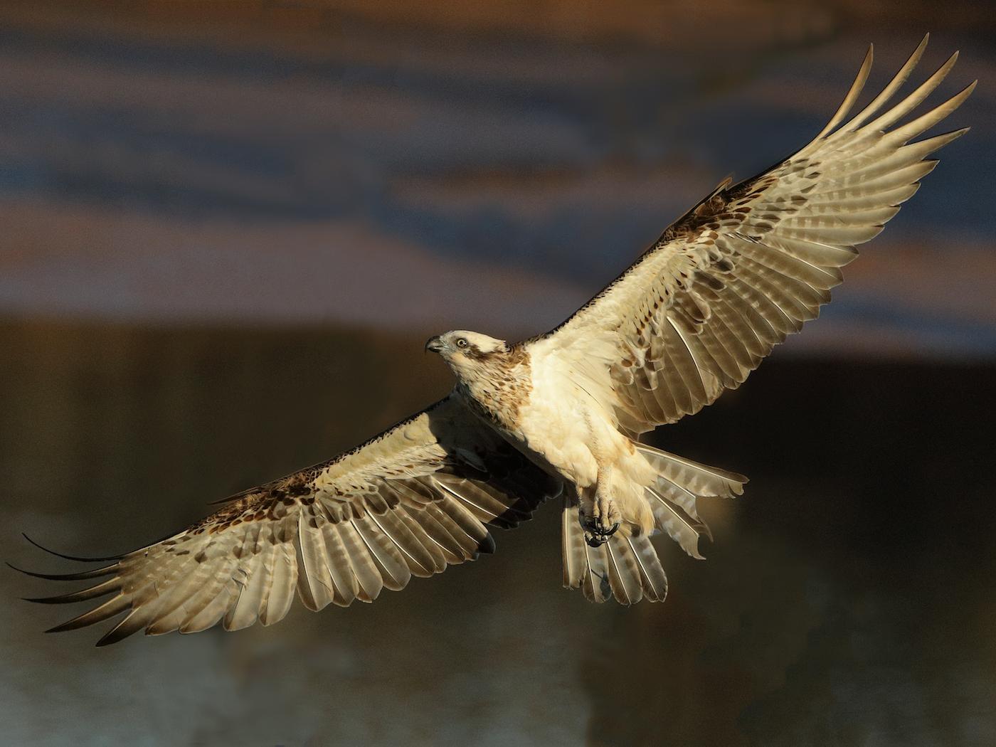 Osprey (Image ID 36242)