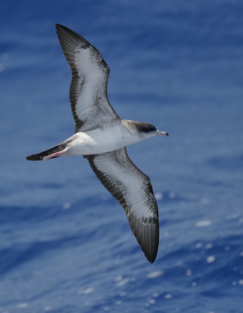 Wedge-tailed Shearwater (Image ID 36402)
