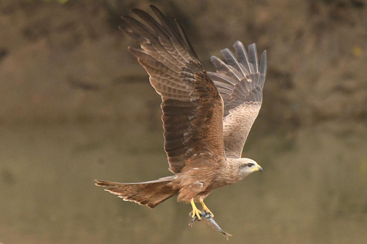 Black Kite (Image ID 36225)