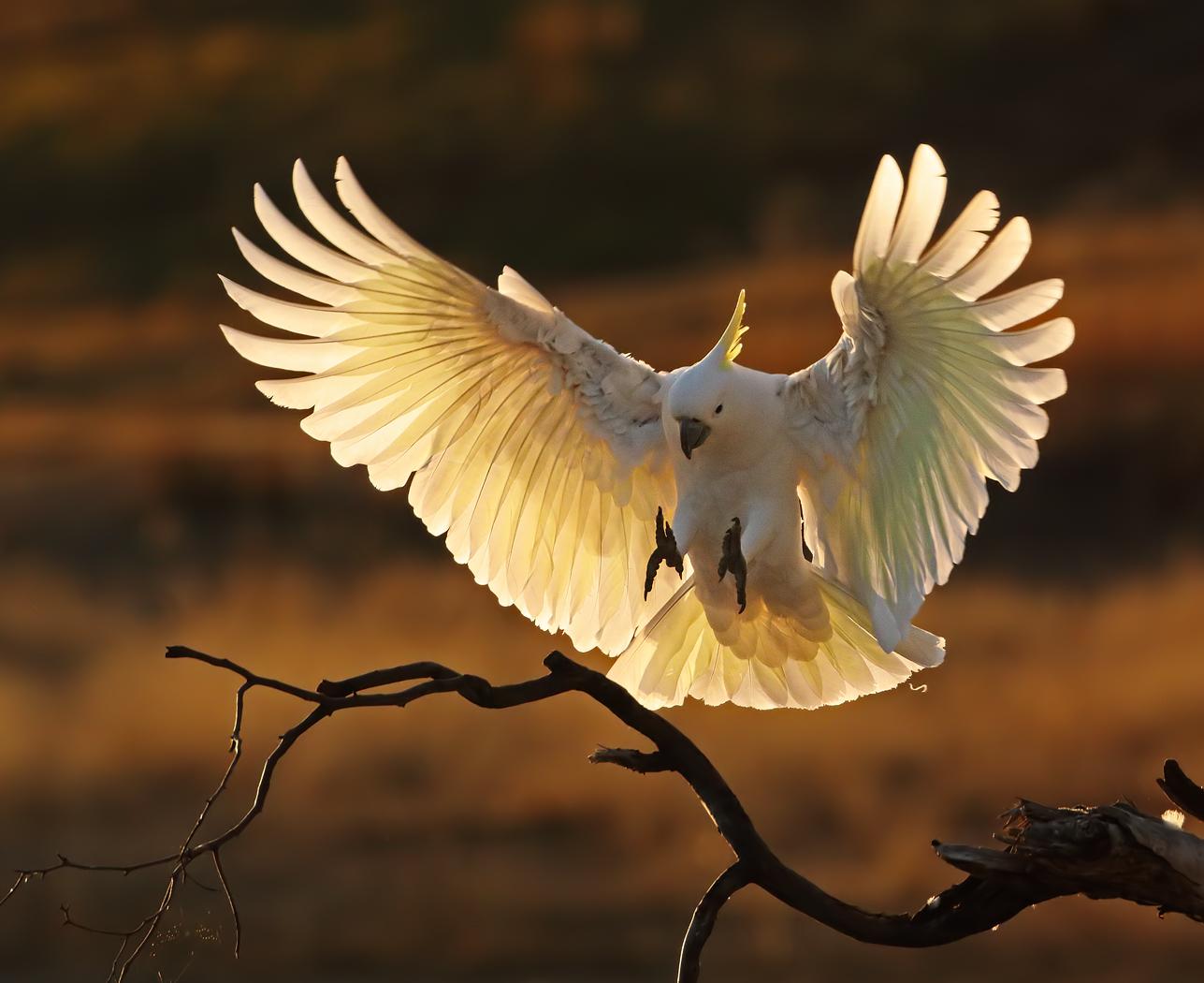Sulphur-crested Cockatoo (Image ID 36321)
