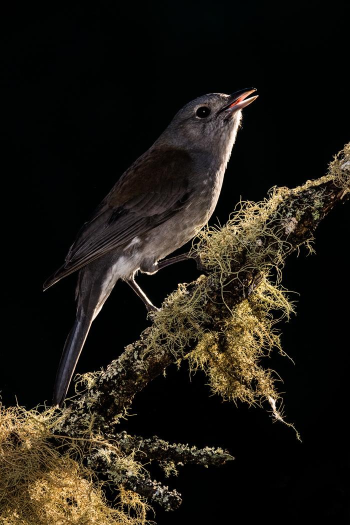 Grey Shrike-thrush (Image ID 36226)