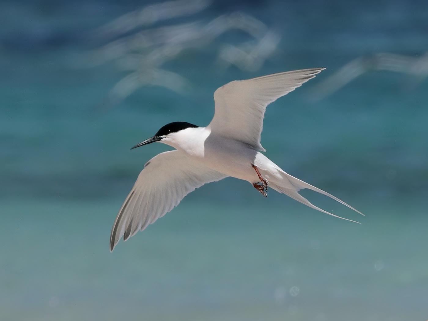 Roseate Tern (Image ID 36420)