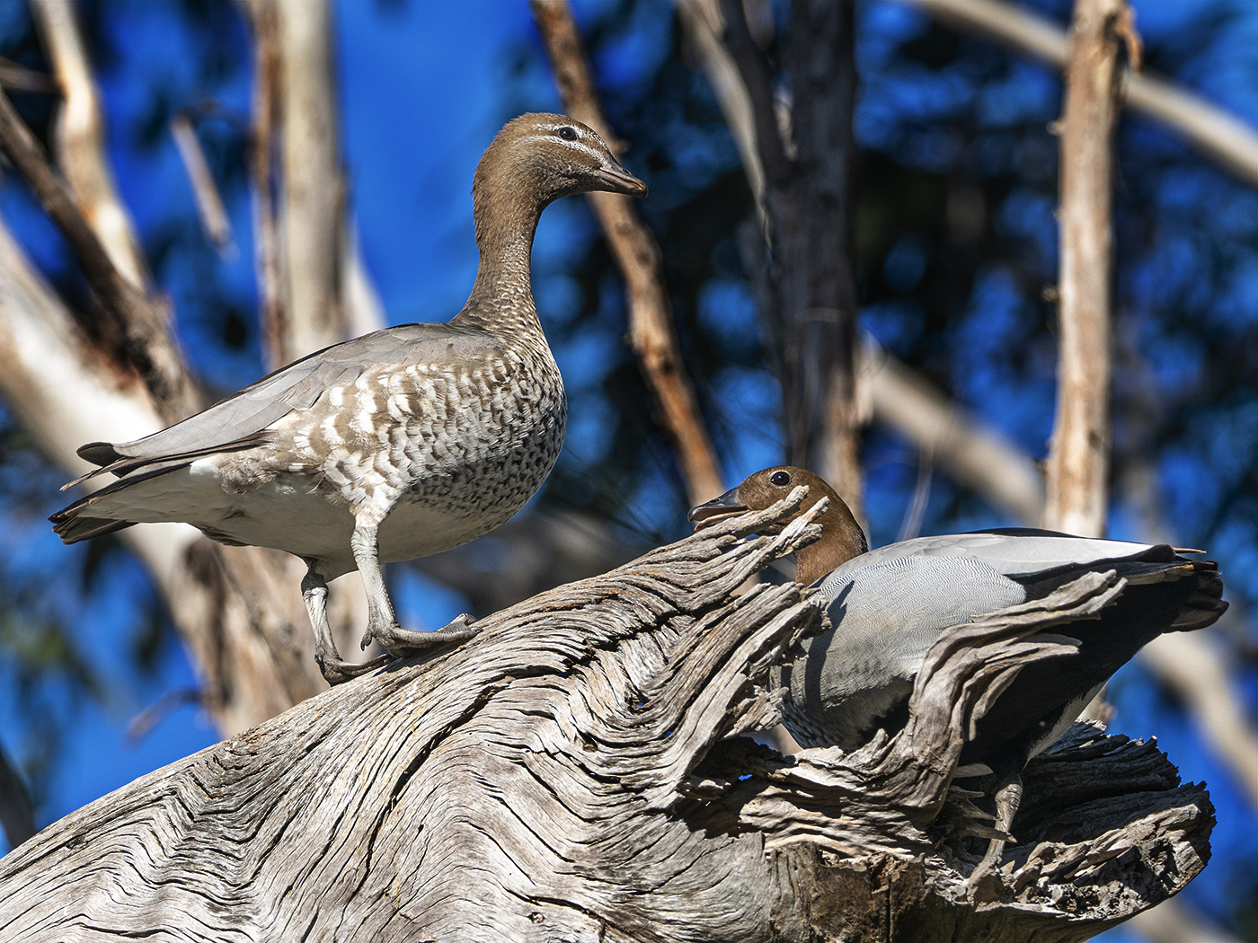 Australian Wood Duck (Image ID 36322)