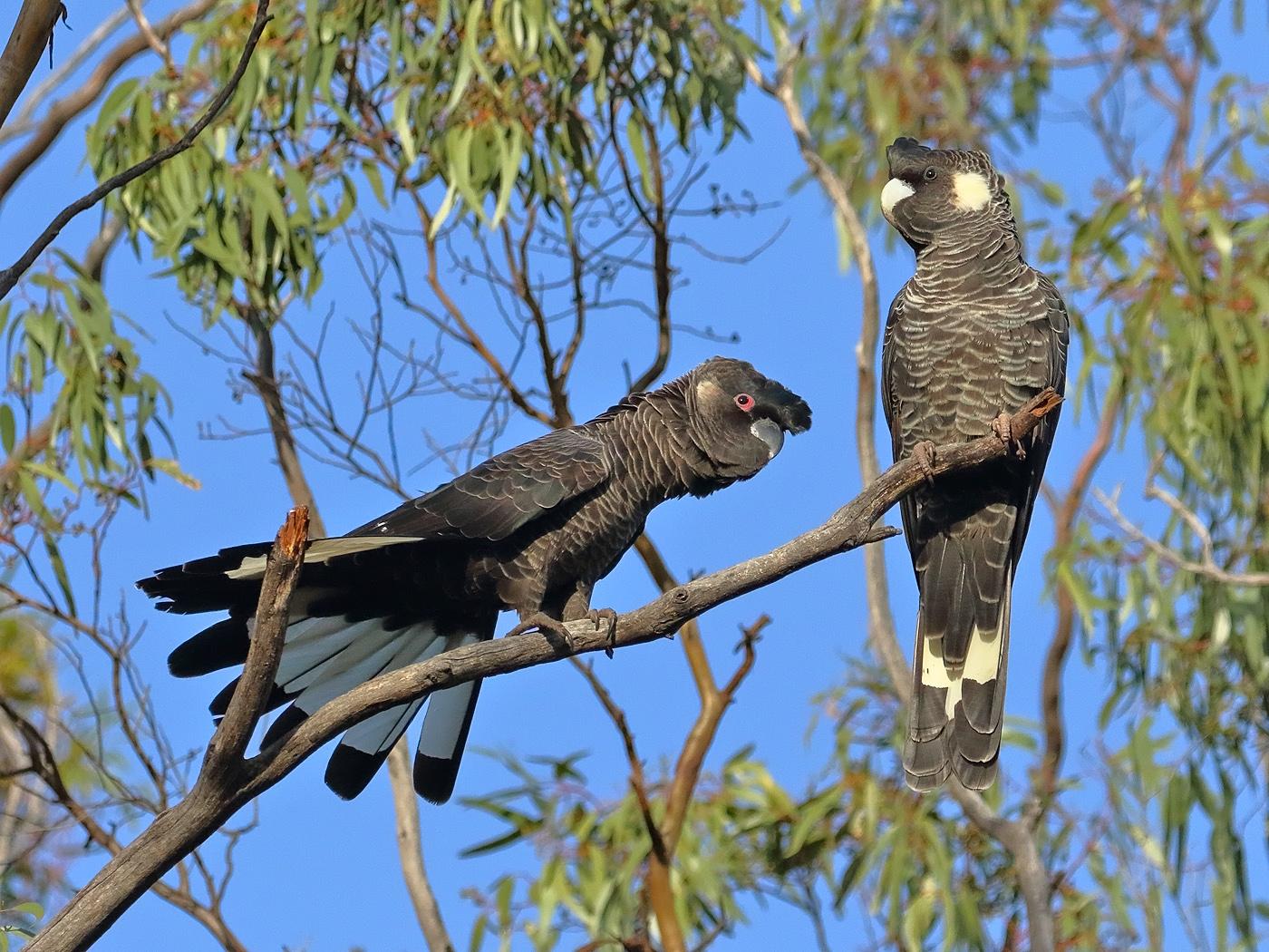 Carnaby's Black-Cockatoo (Image ID 36433)
