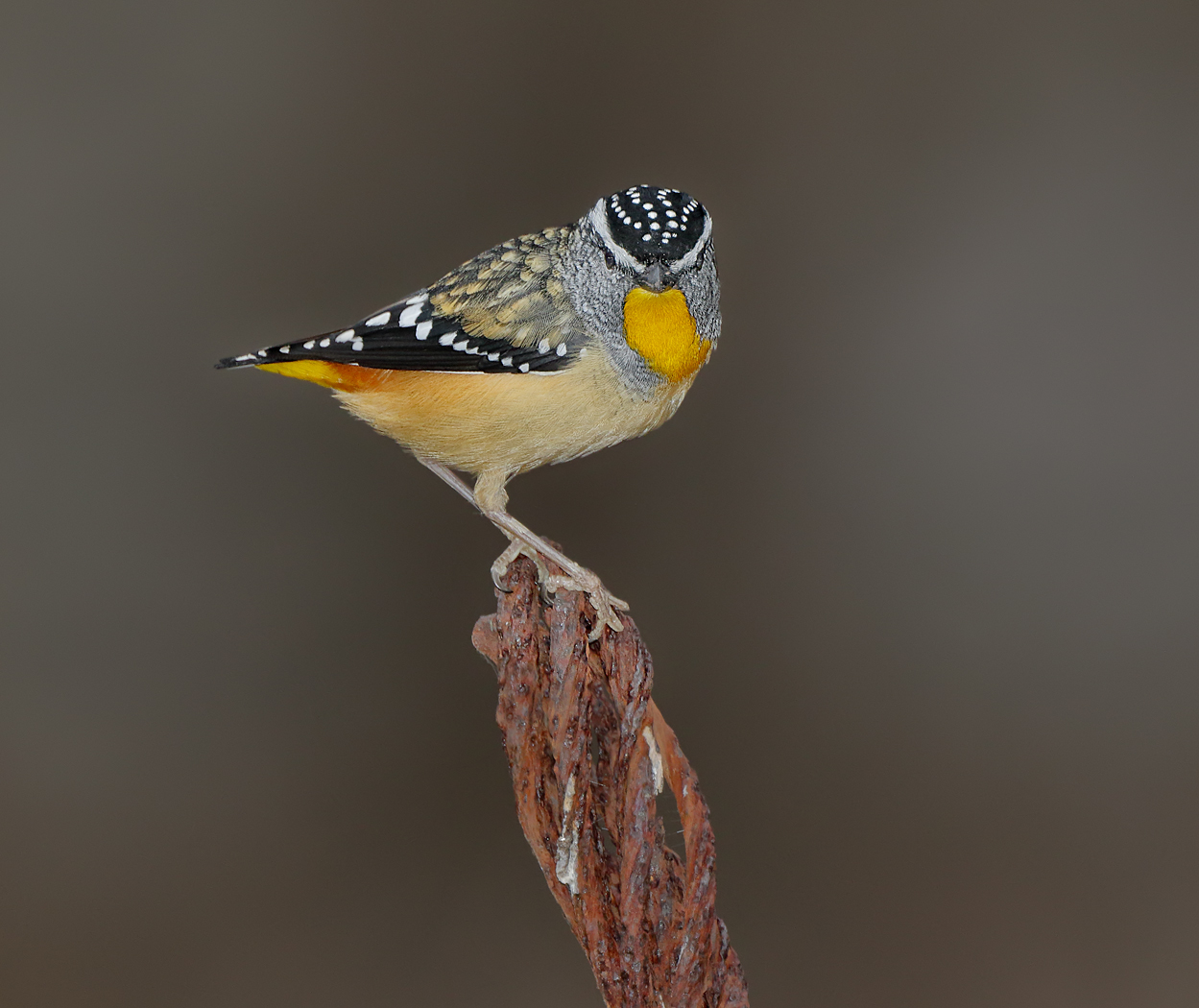 Spotted Pardalote (Image ID 36219)