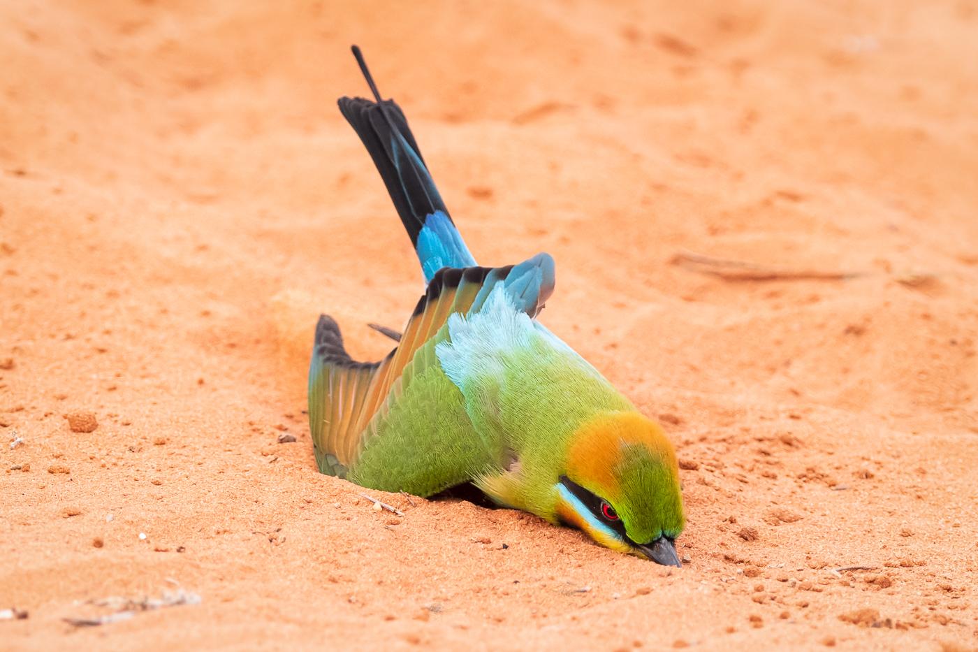 Rainbow Bee-eater (Image ID 36313)