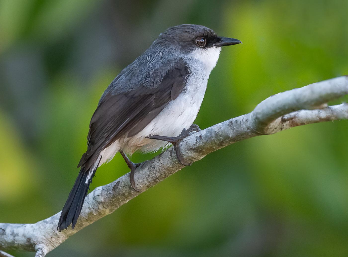 Mangrove Robin (Image ID 36401)
