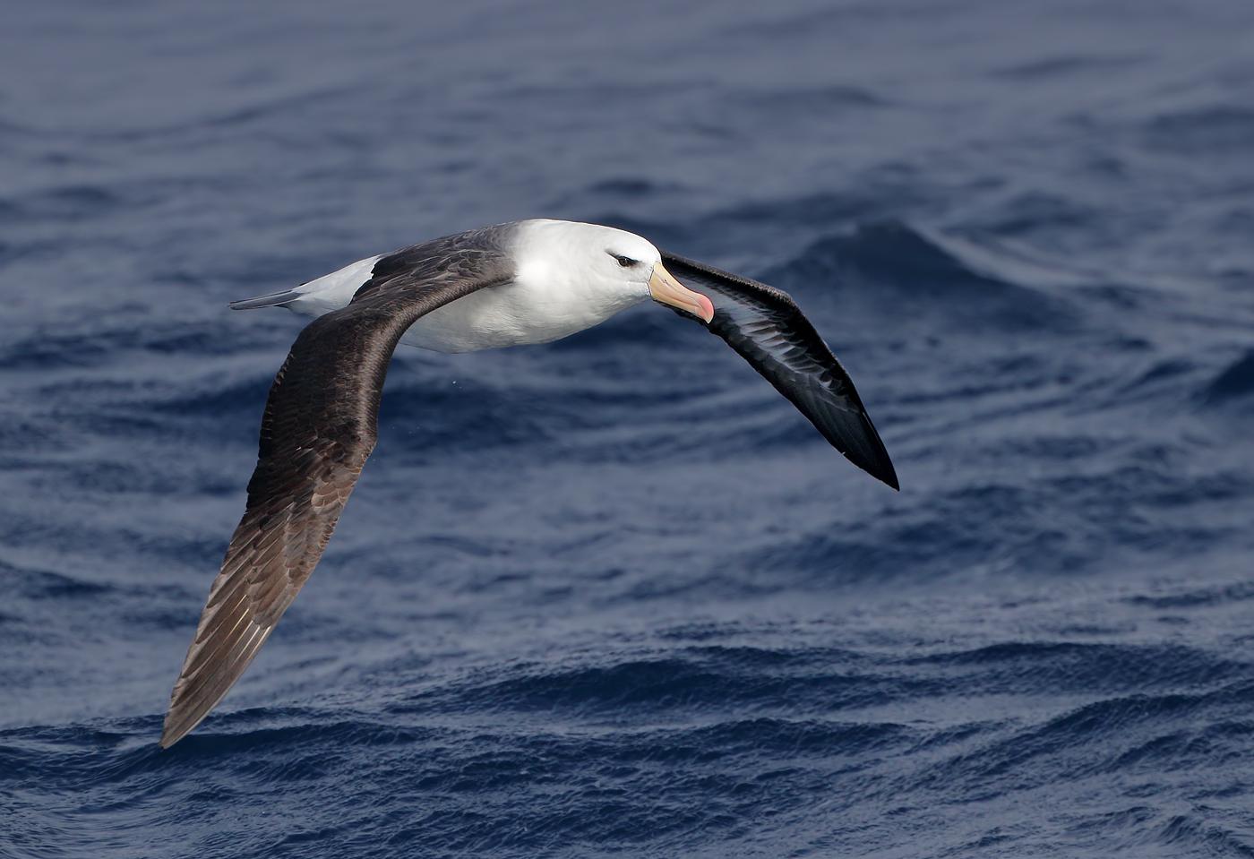 Black-browed Albatross (Image ID 36198)