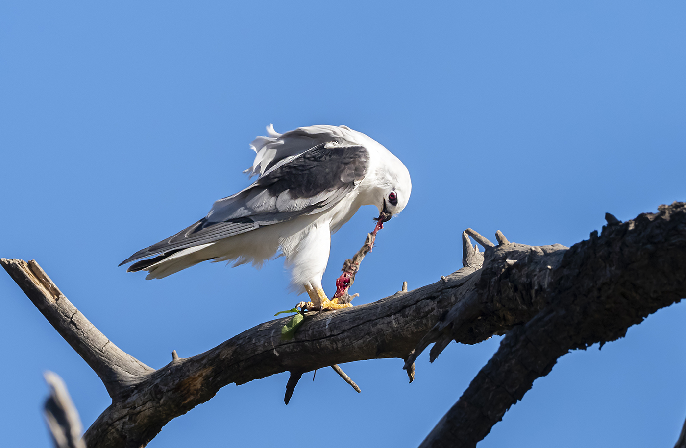 Black-shouldered Kite (Image ID 36249)
