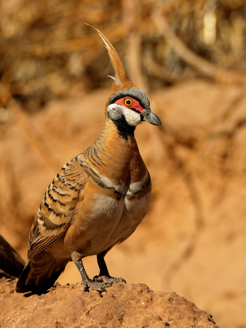 Spinifex Pigeon (Image ID 36329)