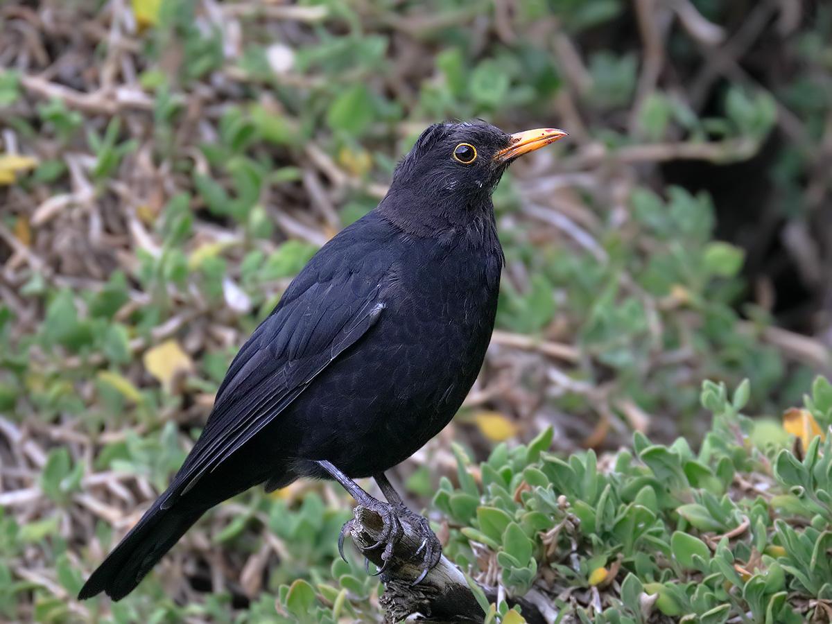 Common Blackbird (Image ID 36230)