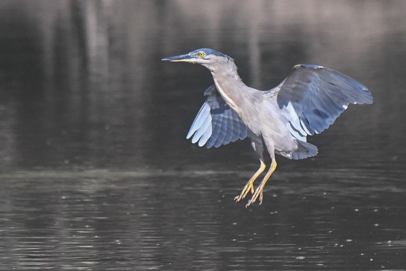 Striated Heron (Image ID 36223)