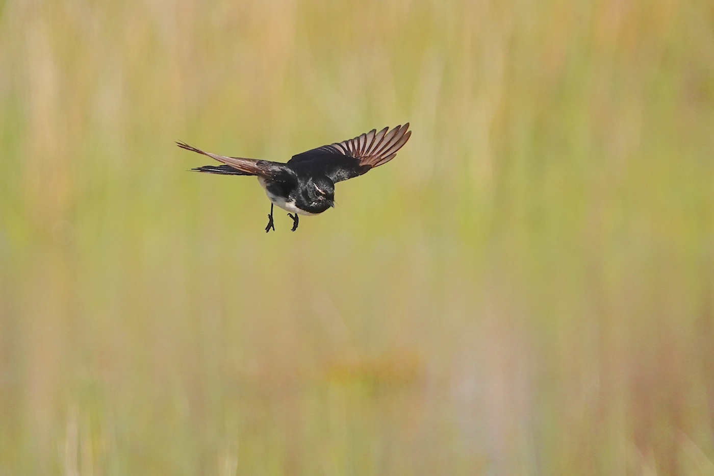 Willie Wagtail (Image ID 36364)