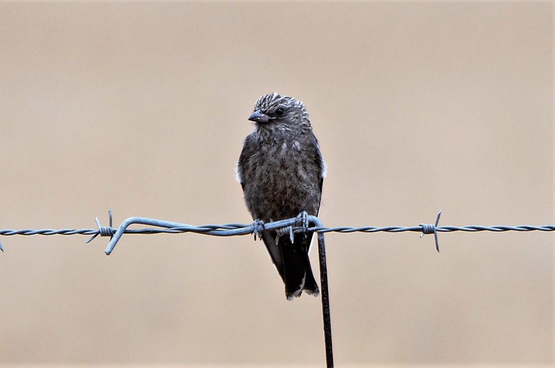 Dusky Woodswallow (Image ID 36266)