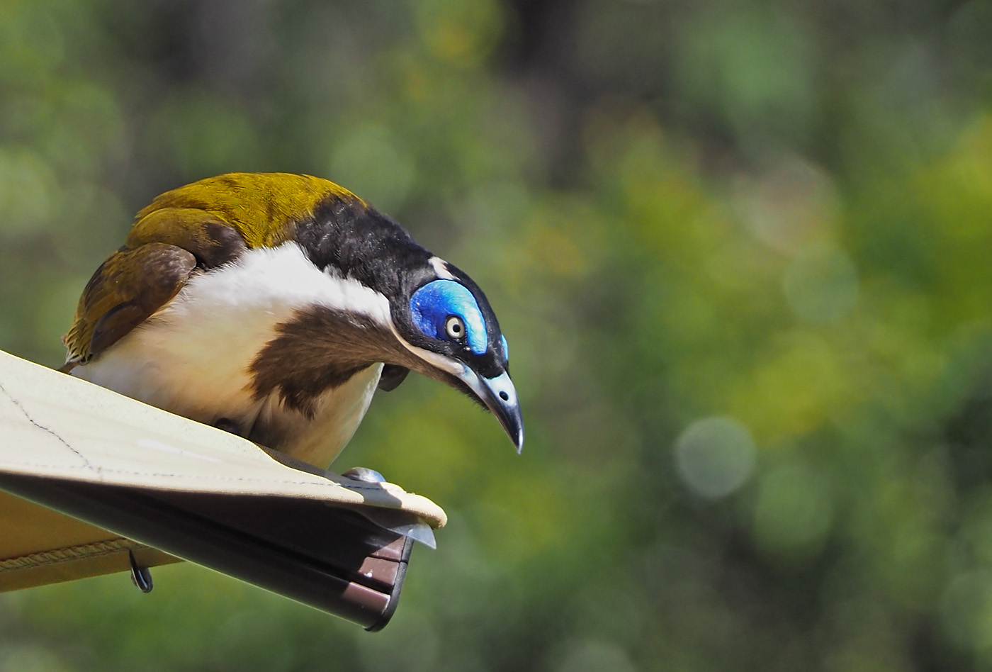 Blue-faced Honeyeater complex (Image ID 36209)