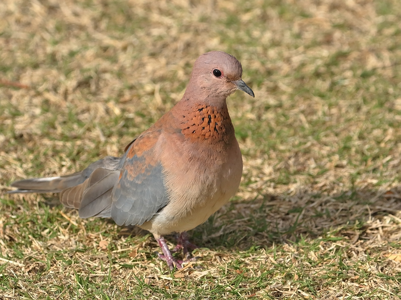 Laughing Dove (Image ID 36288)