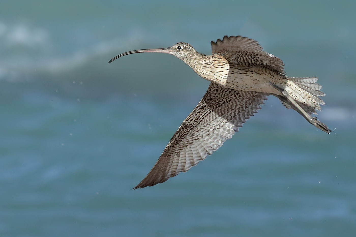 Eastern Curlew (Image ID 36385)