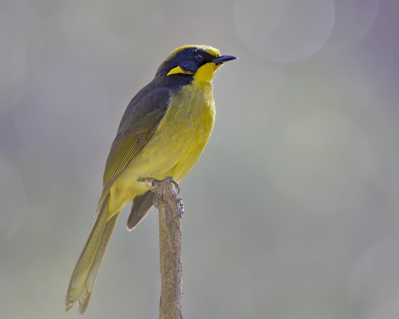 Yellow-tufted Honeyeater (Image ID 36380)