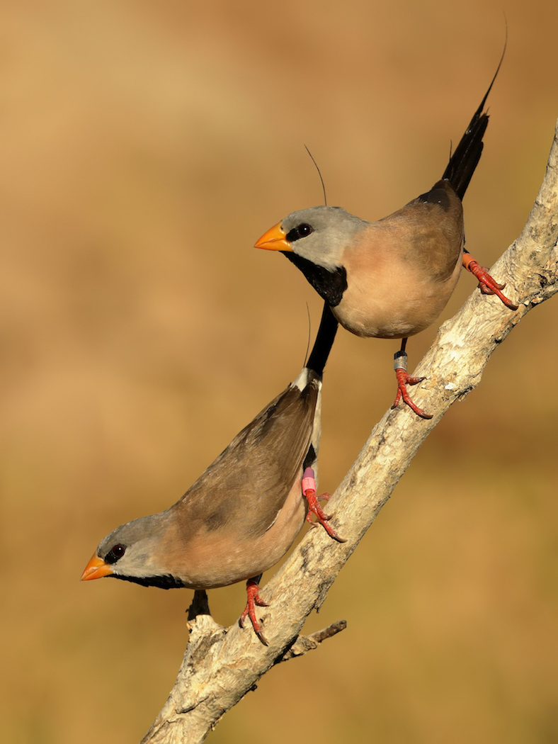 Long-tailed Finch (Image ID 36301)