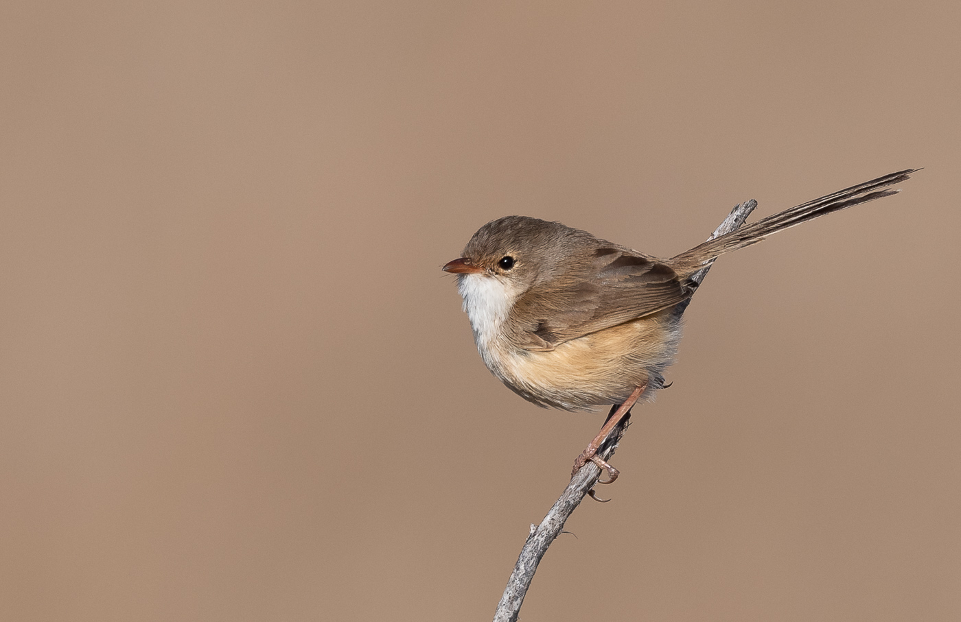 Red-backed Fairy-wren (Image ID 36344)