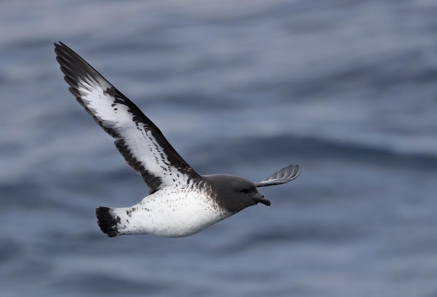 Cape Petrel (Image ID 36207)