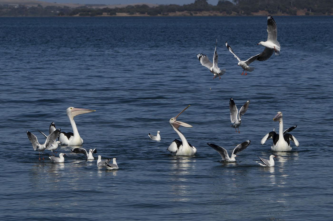 Australian Pelican, Silver Gull (Image ID 36250)