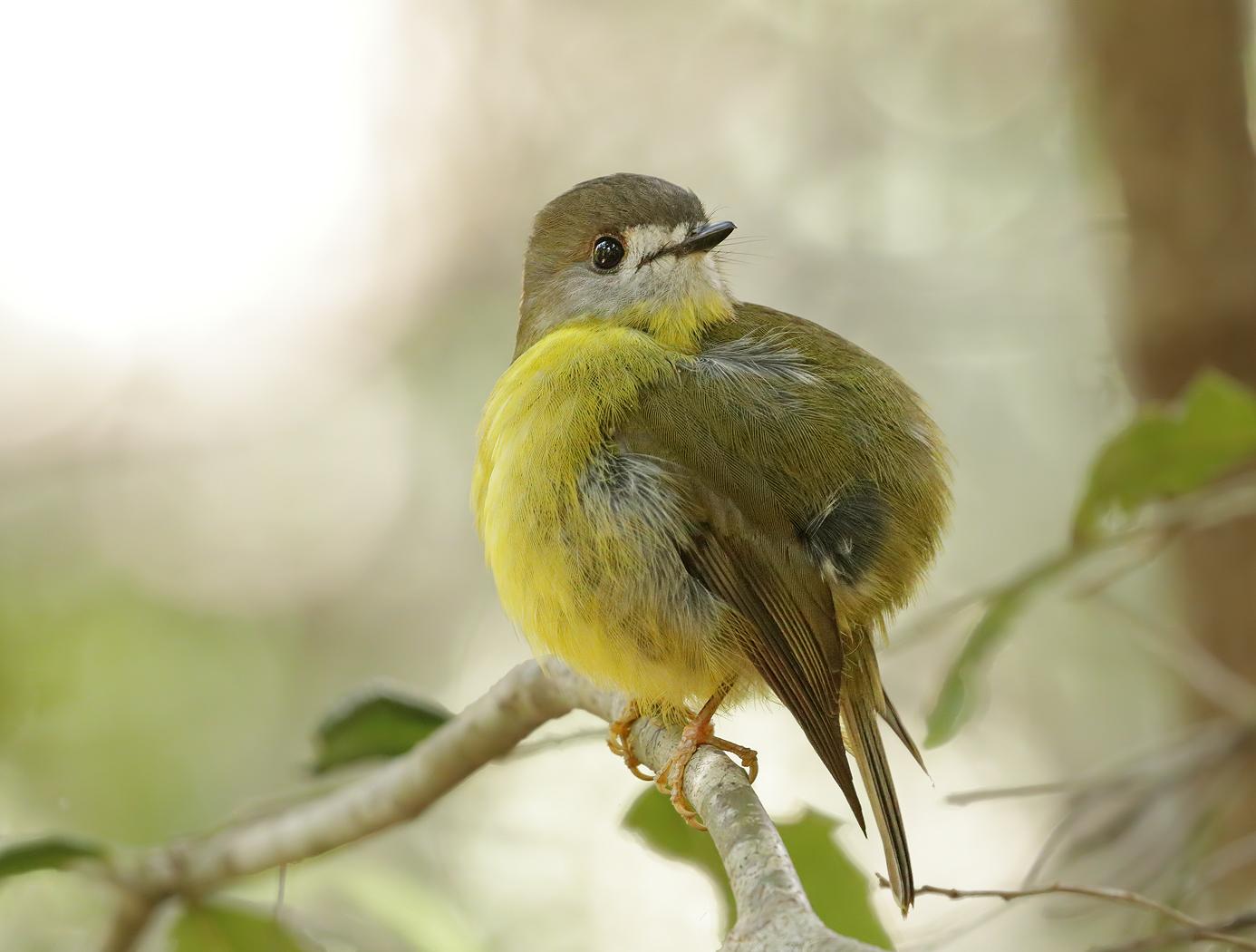 Pale-yellow Robin (Image ID 36309)