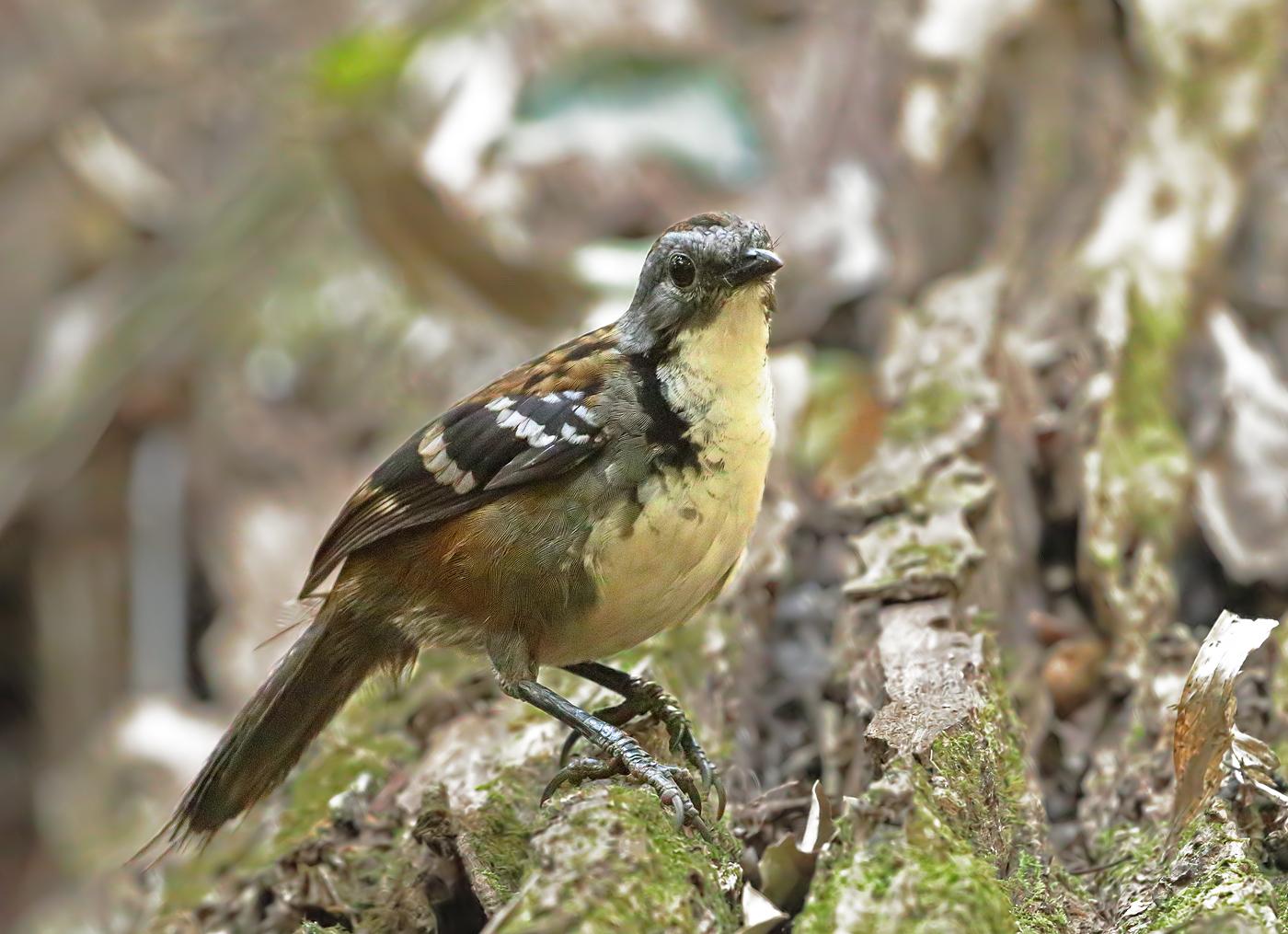 Australian Logrunner (Image ID 36306)