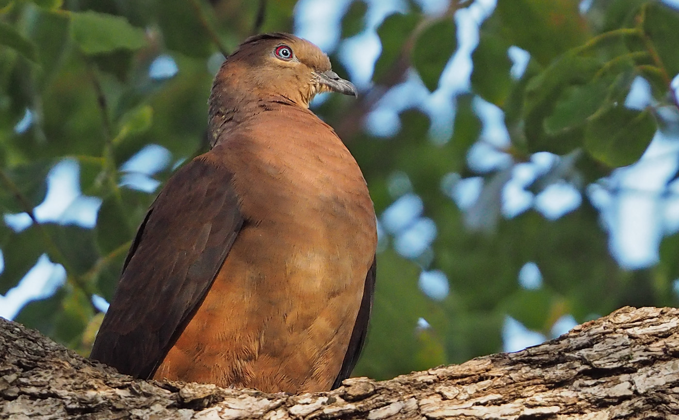 Brown Cuckoo-Dove (Image ID 36370)