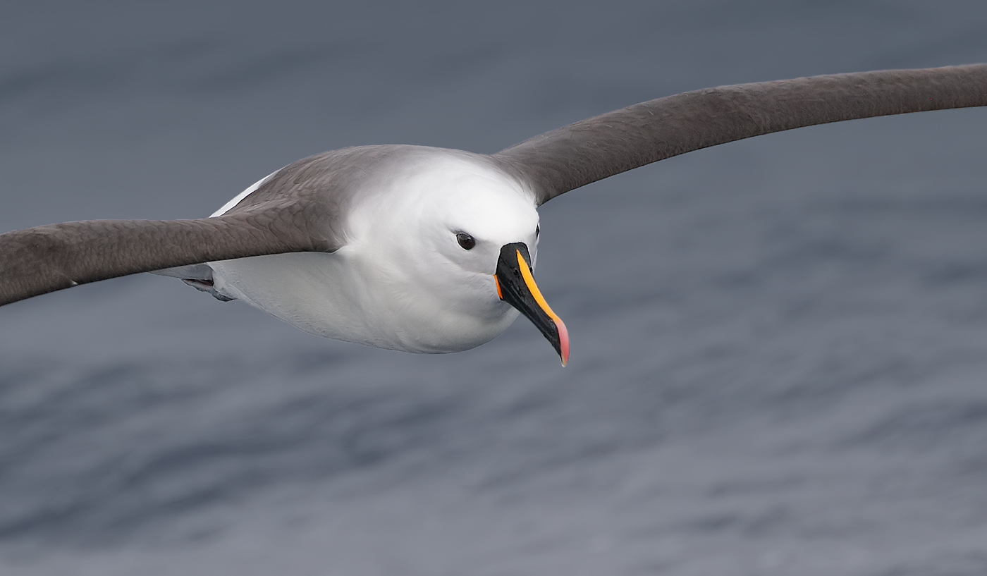 Indian Yellow-nosed Albatross (Image ID 36191)