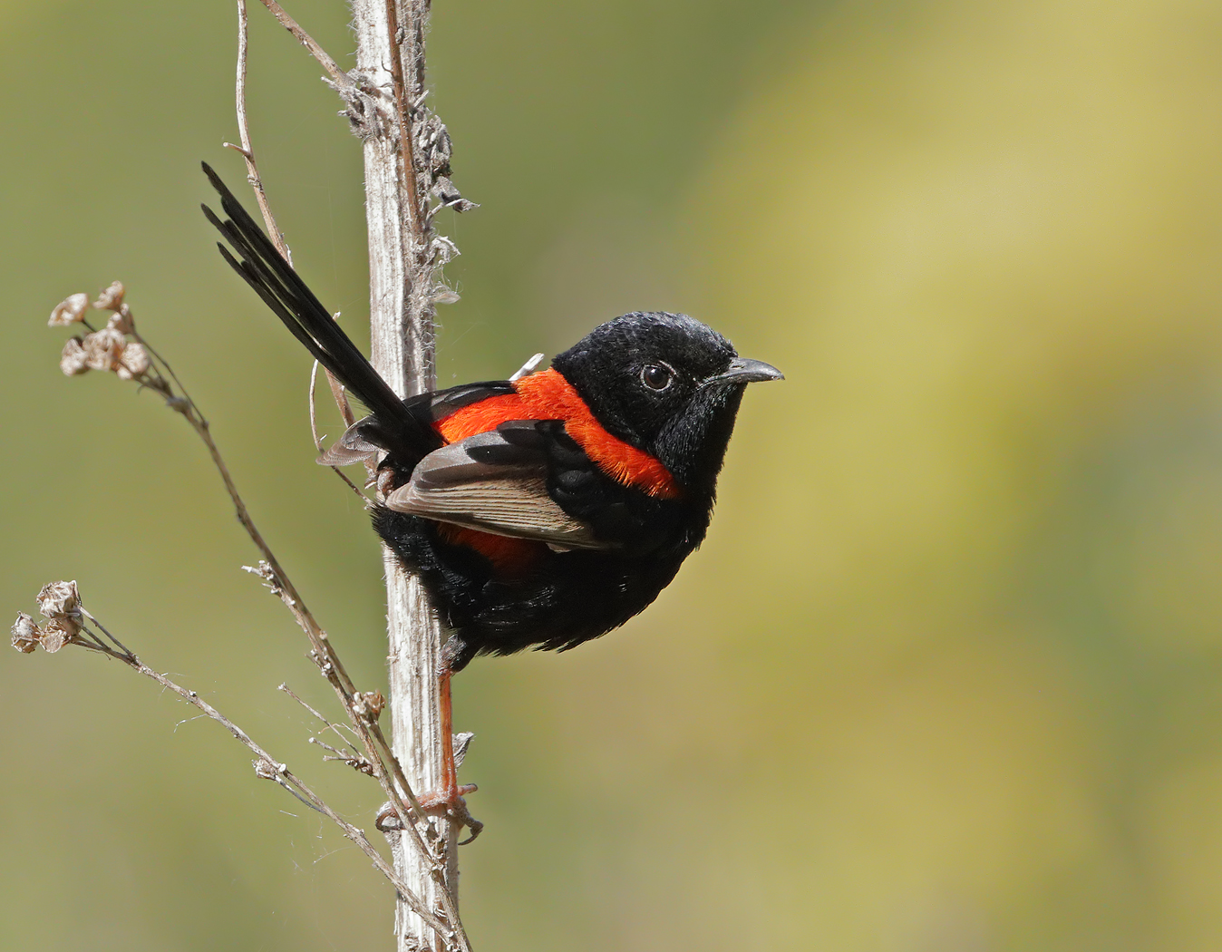 Red-backed Fairy-wren (Image ID 36308)