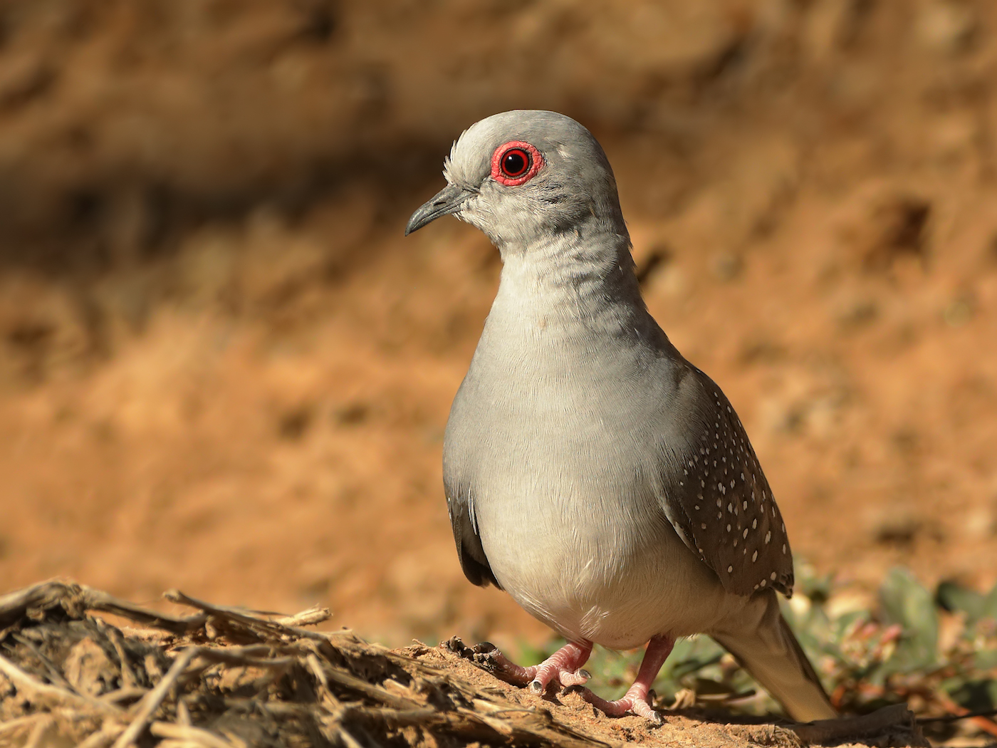 Diamond Dove (Image ID 36303)