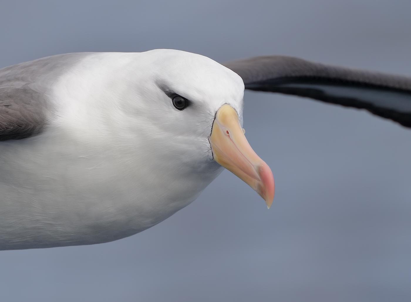 Black-browed Albatross (Image ID 36197)