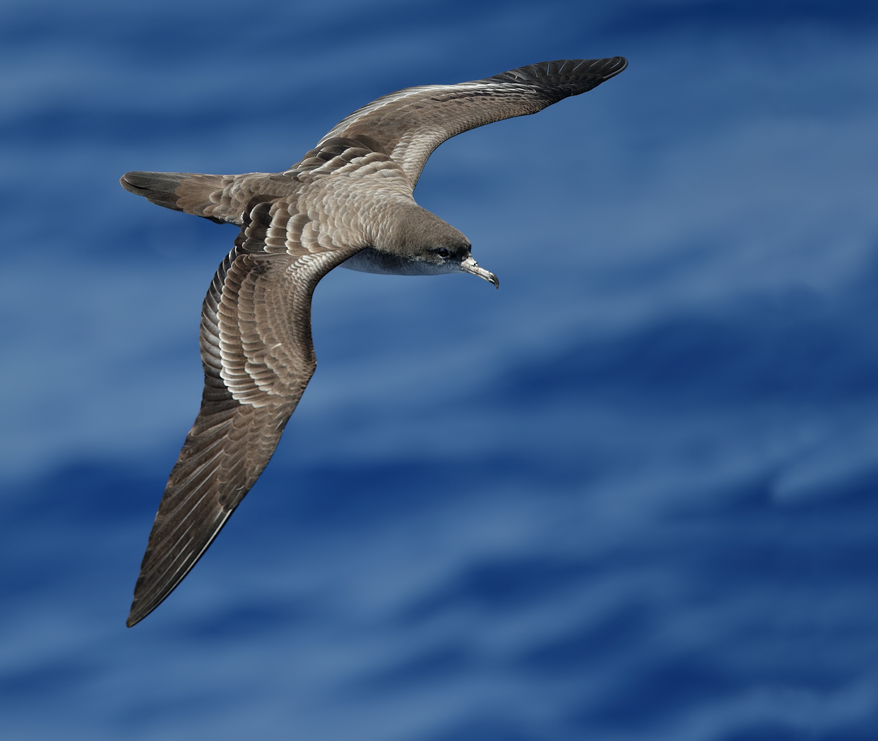 Wedge-tailed Shearwater (Image ID 36403)