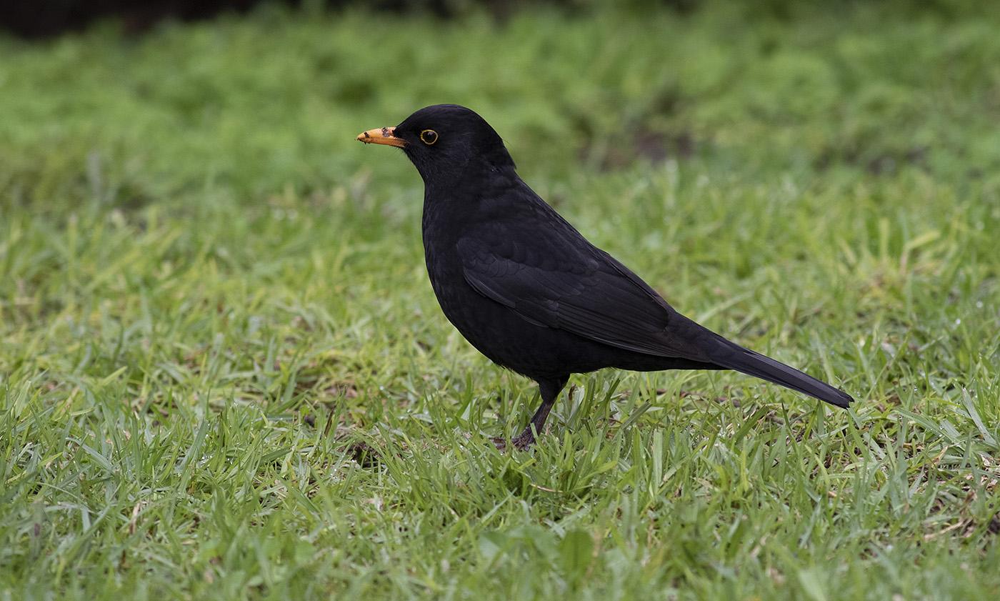 Common Blackbird (Image ID 36199)