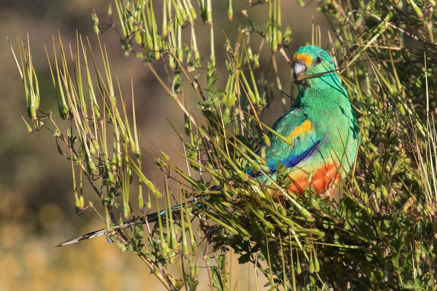 Mulga Parrot (Image ID 36346)