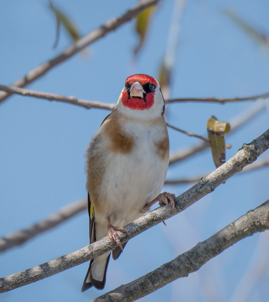 European Goldfinch (Image ID 36262)
