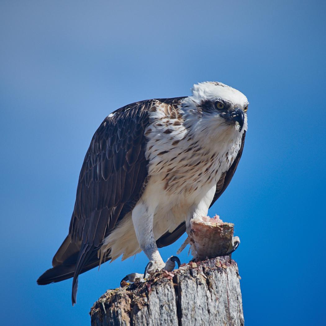 Osprey (Image ID 36221)