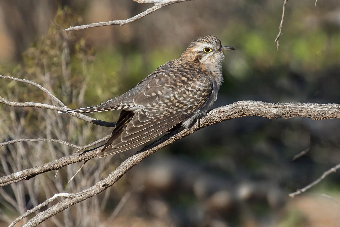 Pallid Cuckoo (Image ID 36348)