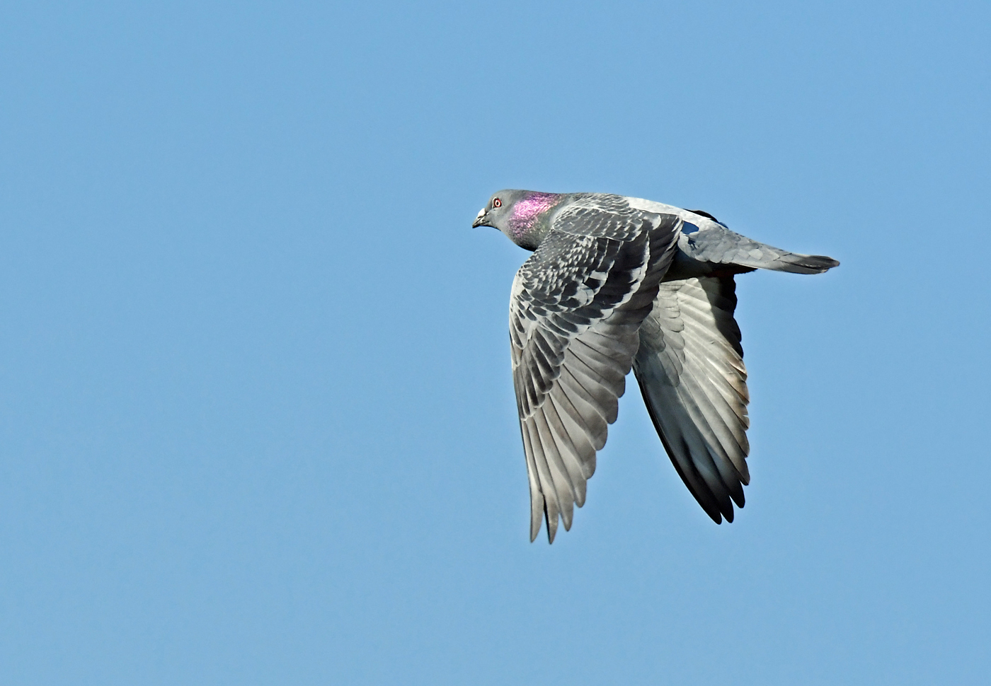 Rock Dove (Image ID 36265)